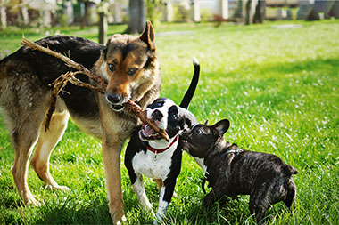 Three dogs chewing on a stick